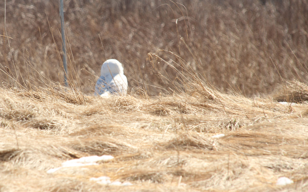 sachuest point national wildlife refuge snowy owl